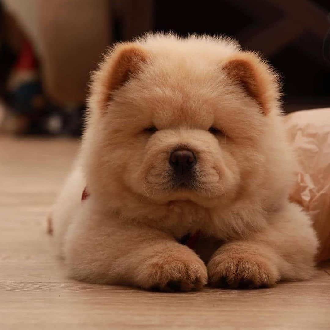 Chow chow dog 16
