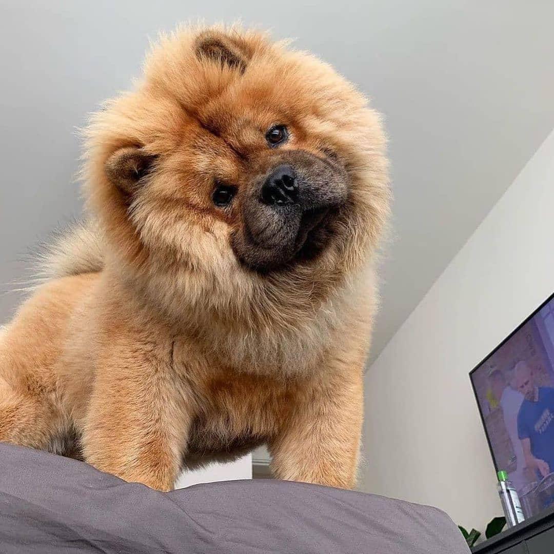 Chow chow dog 17