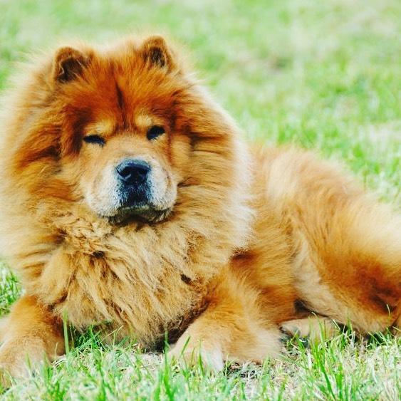 Chow chow dog 22