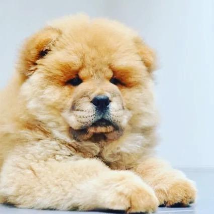 Chow chow dog 23