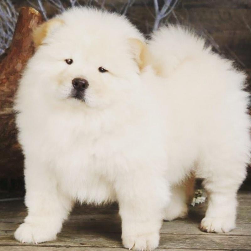 Chow chow dog 26