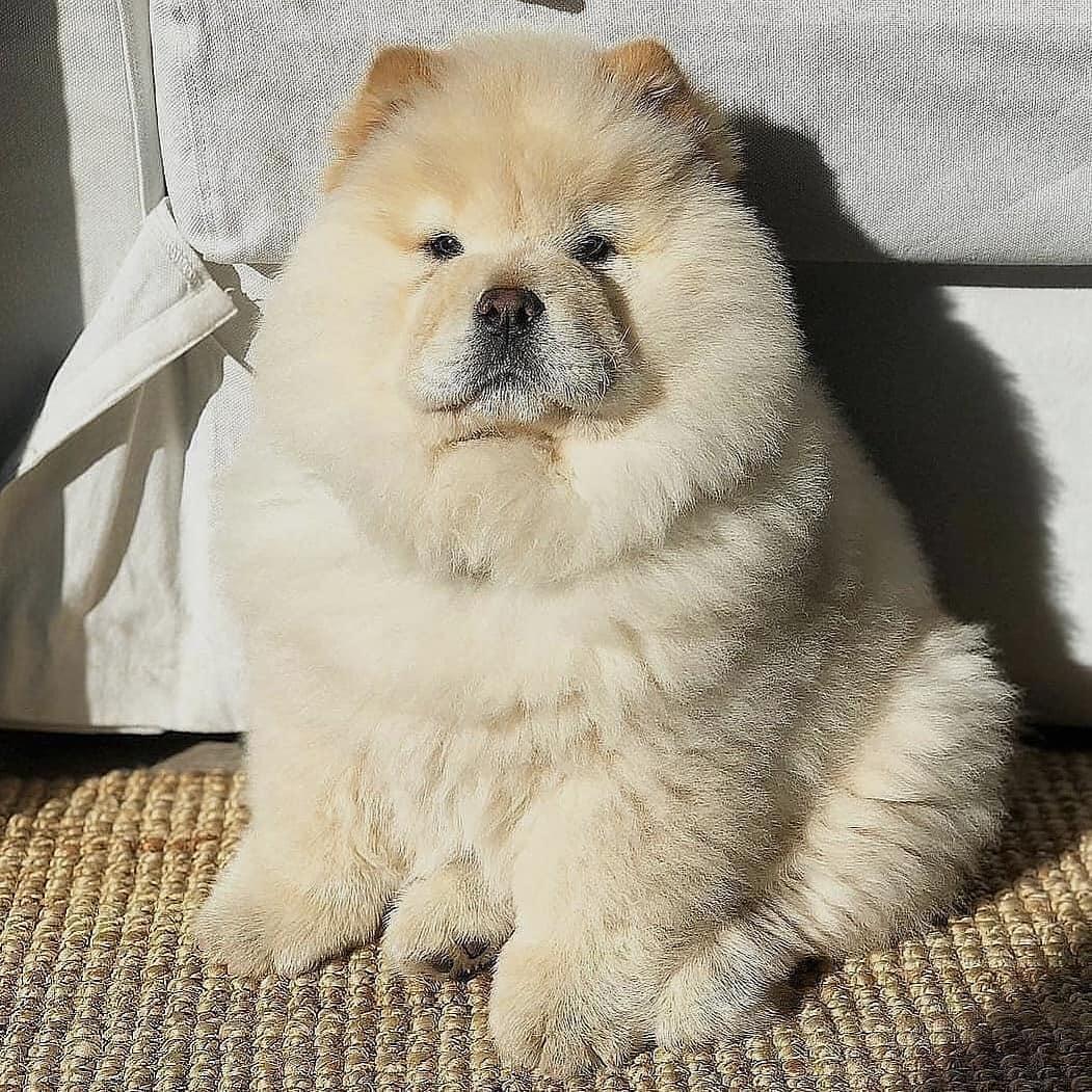 Chow chow dog 28