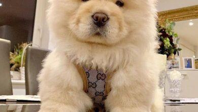 Chow chow dog 29