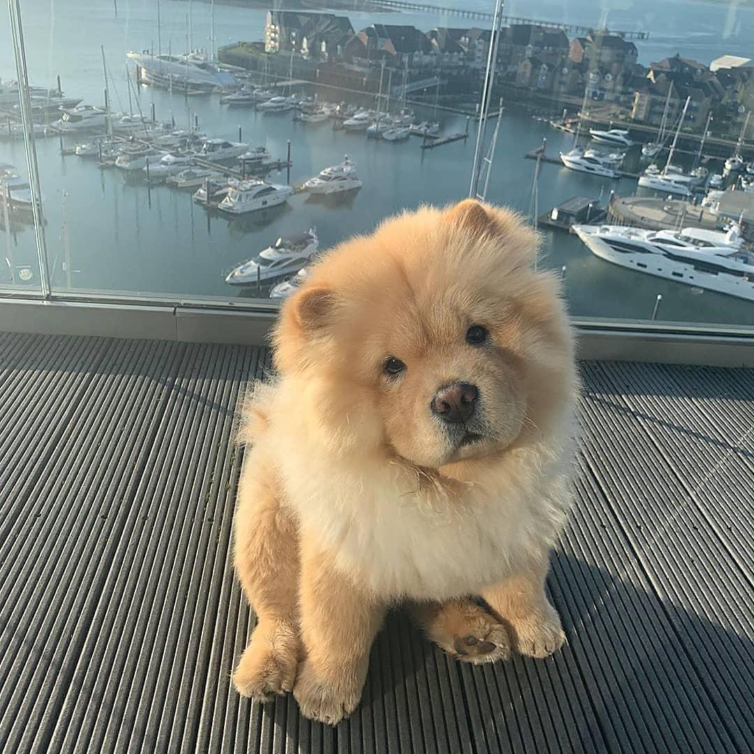 Chow chow dog 5