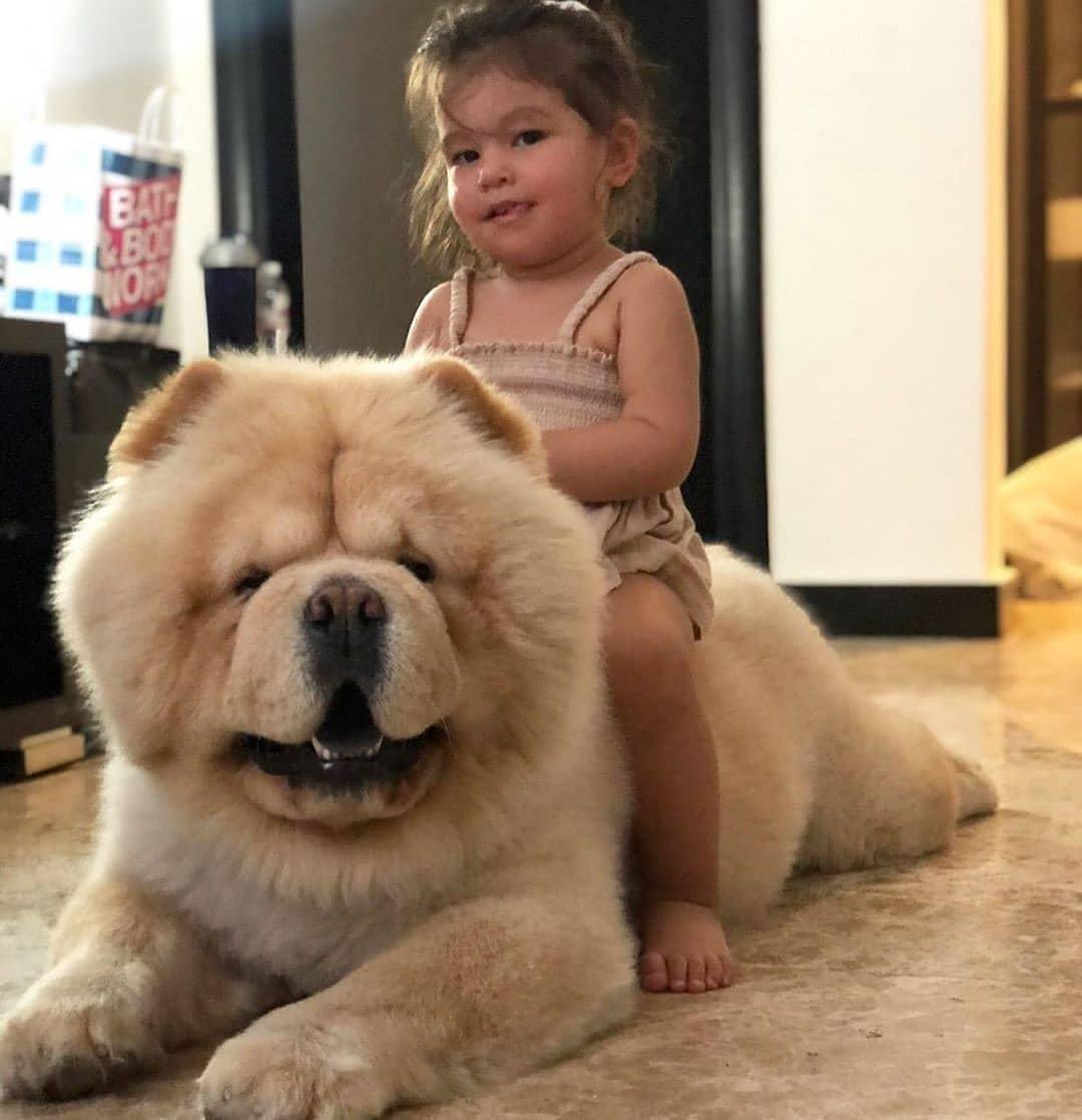 Chow chow dog 6