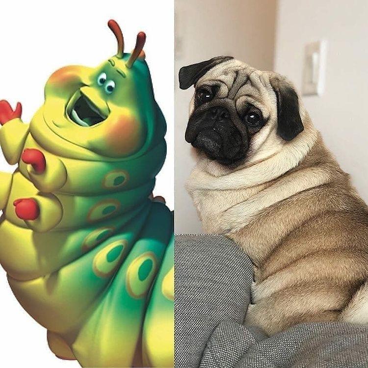 Pug bị béo phì