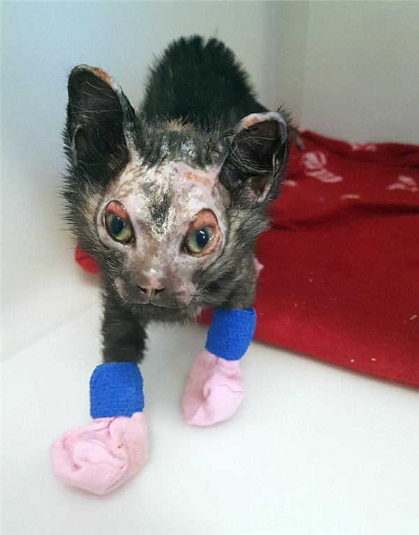 chó mèo bị bỏng nước sôi