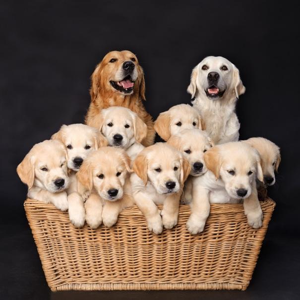 Các triệu chứng thiếu máu ở chó khi mang thai