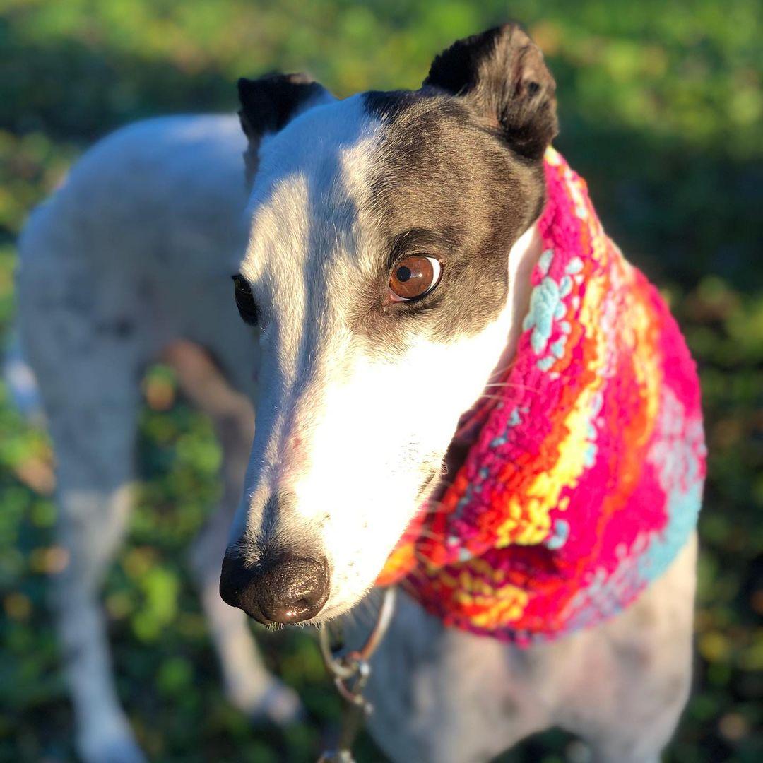 Giống chó Greyhound: những tay đua cừ khôi