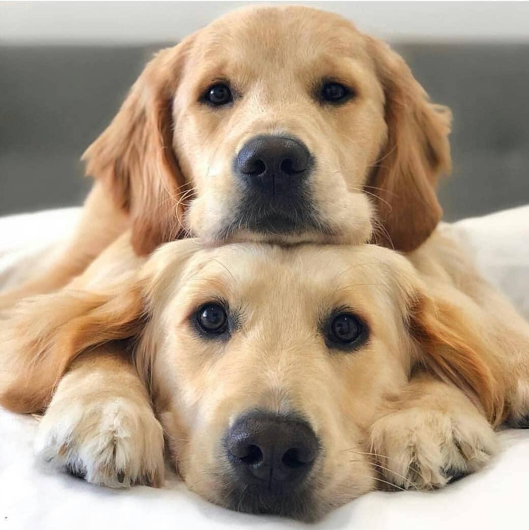 Cách dễ nhất để dạy chó nằm xuống