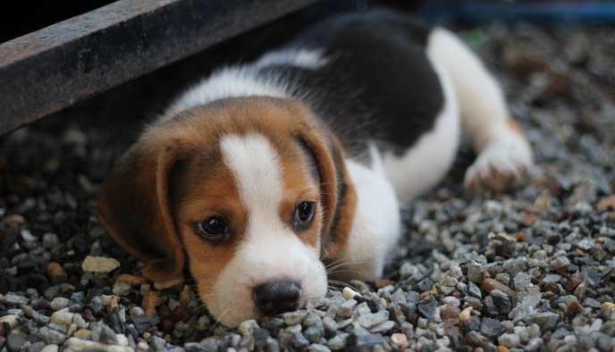 animal beagle canine 460823