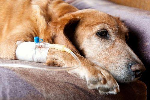 Sơ cứu và phòng ngừa chó bị sản giật - sốt sữa