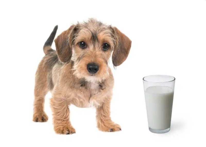 Có nên cho chó con uống sữa bò không?