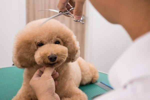Cách sử dụng máy cắt tỉa và cạo lông chó