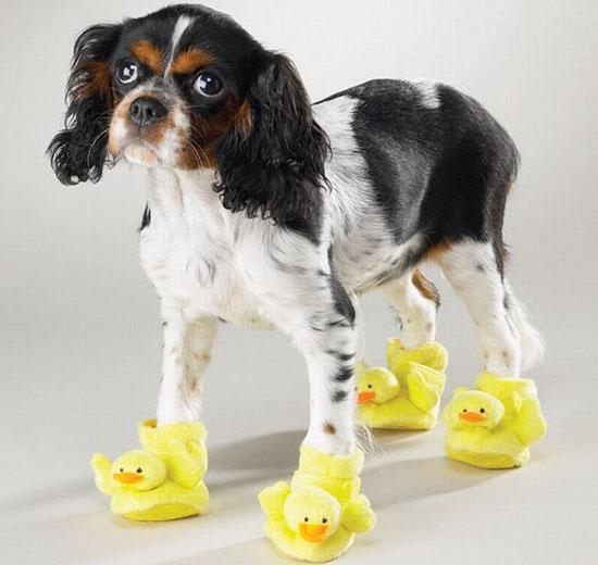 Cộng đồng thú cưng tẩy chay giày cho chó