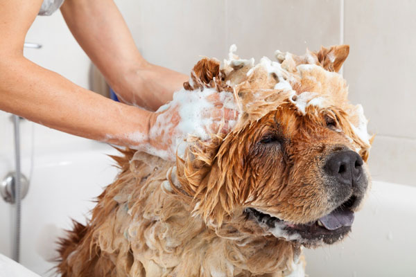 Top 3 loại sữa tắm dành cho chó bị viêm da nặng