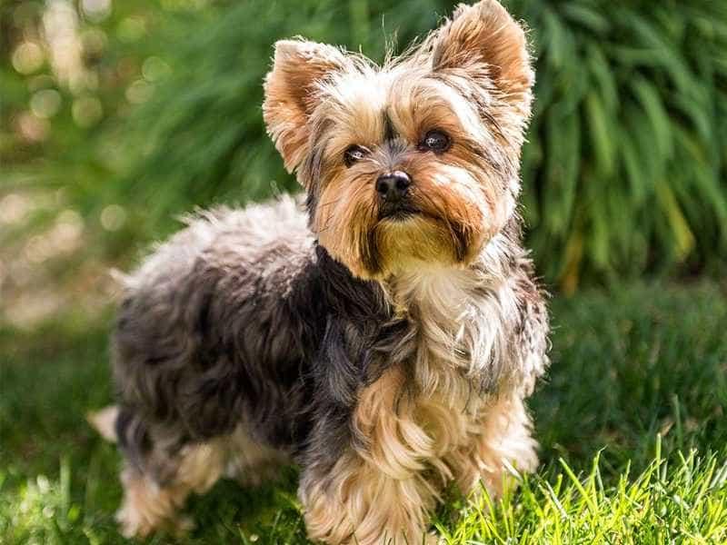 yorkshire dog1 0