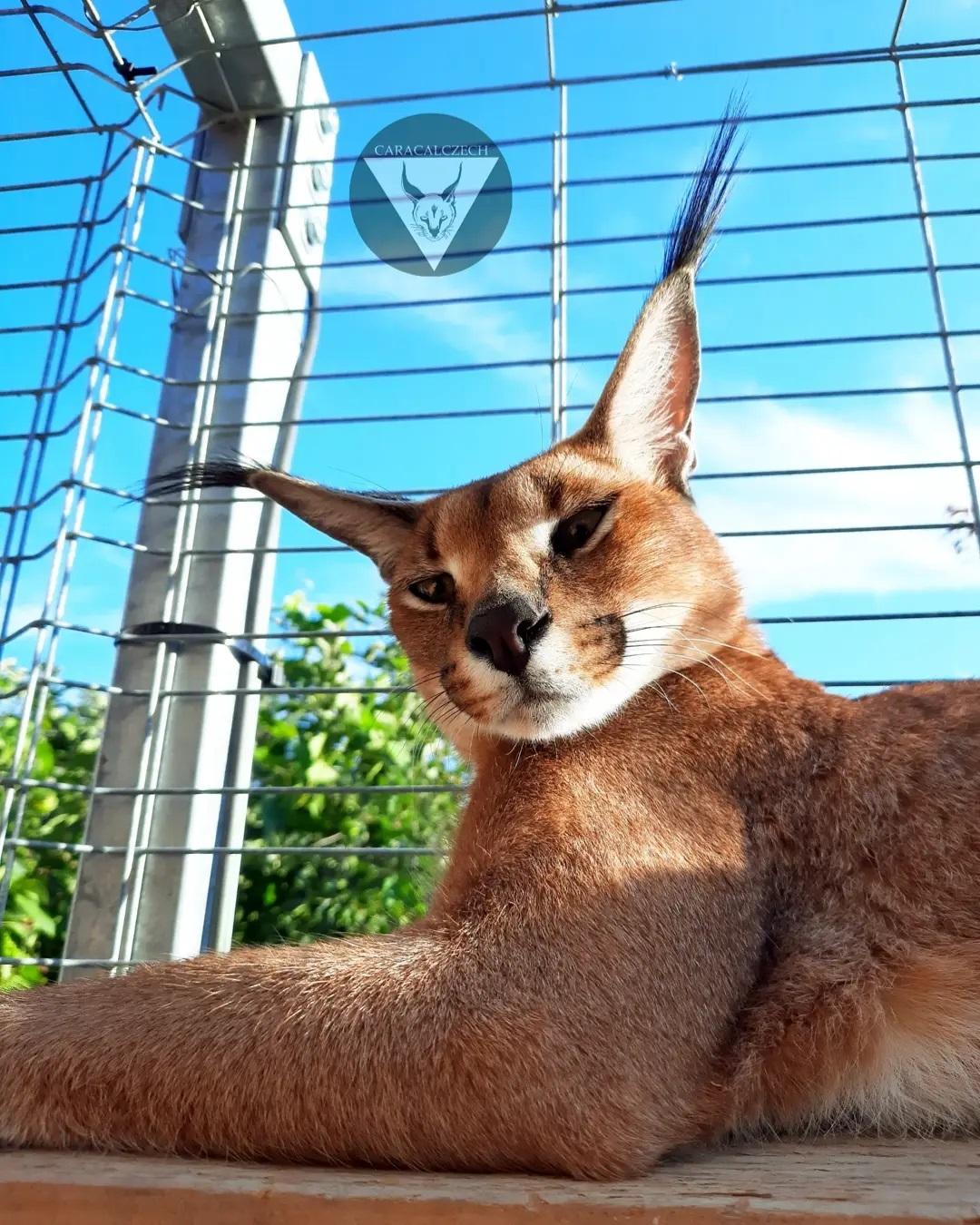 TOP 7 giống mèo khổng lồ (trọng lượng lớn) trên thế giới