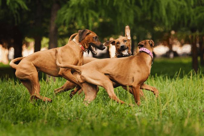 Giải thích hành vi của chó đực phát dục
