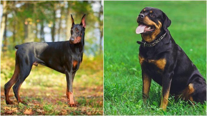 So sánh Doberman và Rottweiler - Giống nào tốt hơn?