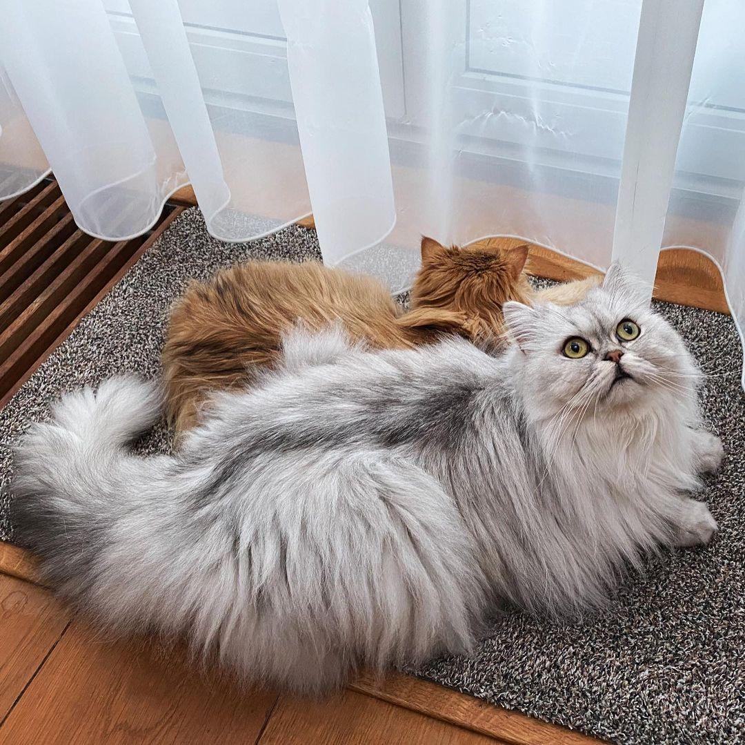 Cách mèo tạo ra mùi hương của bầy đàn