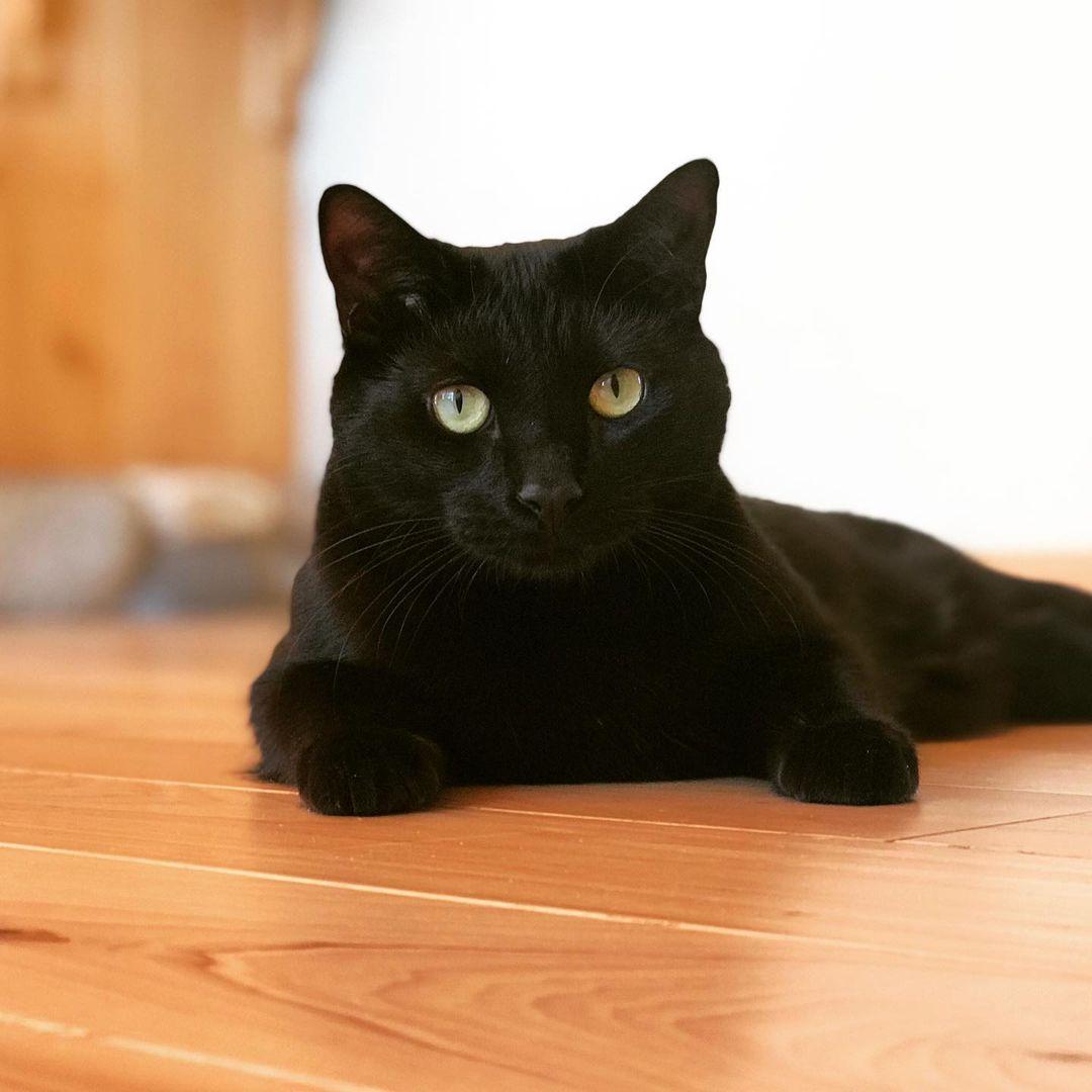 Bombay cat 3