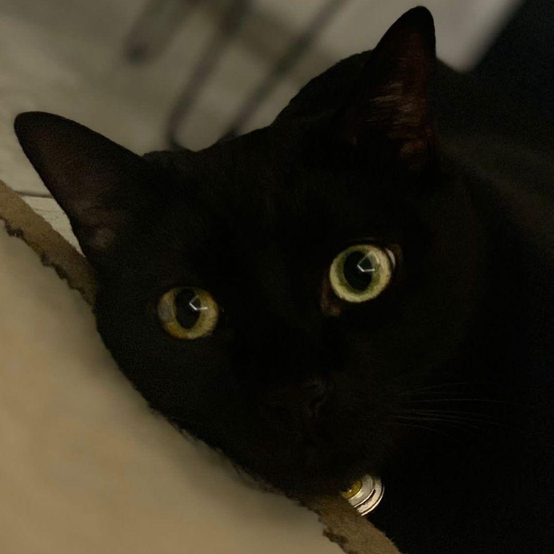 Bombay cat 4