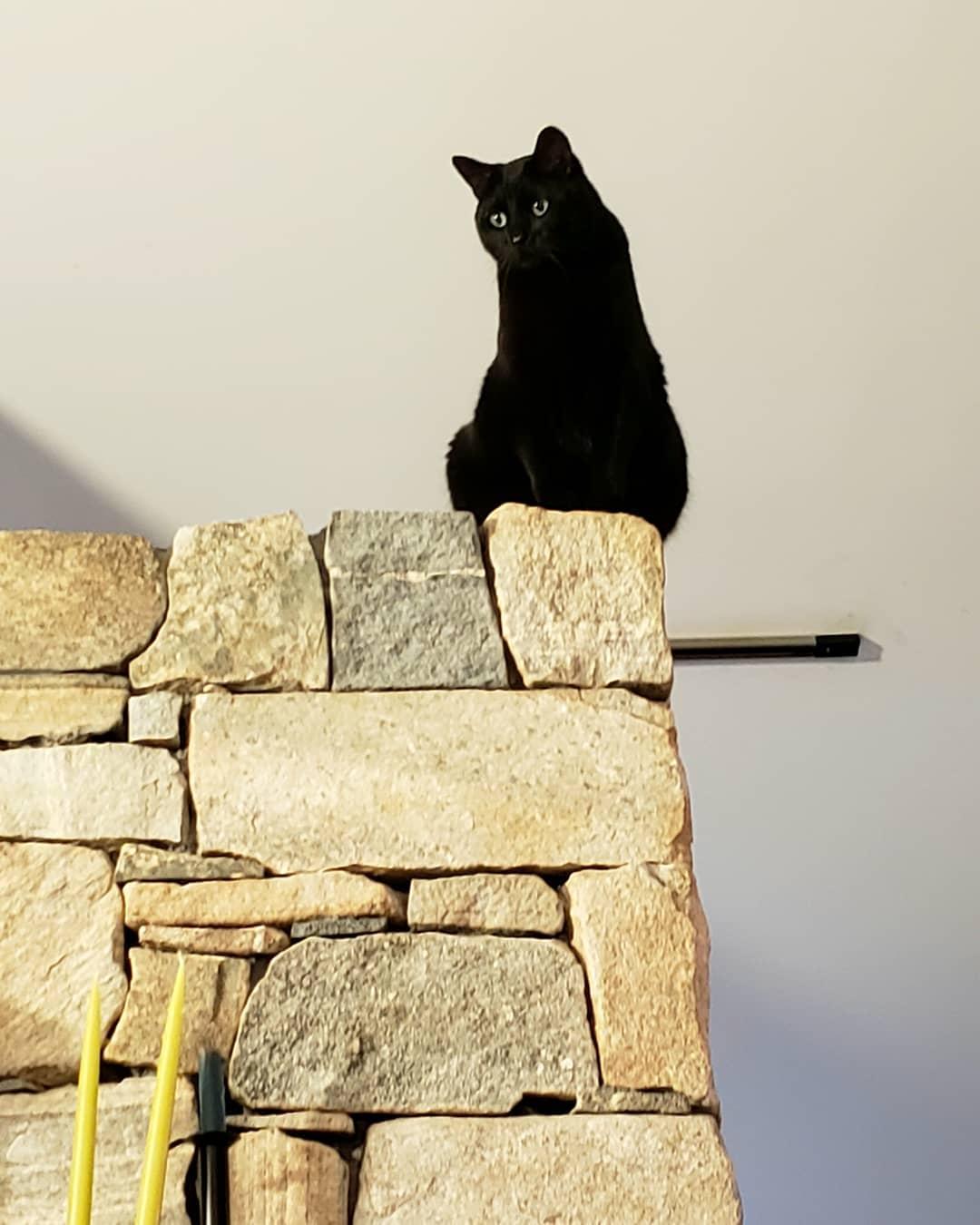 Bombay cat 7