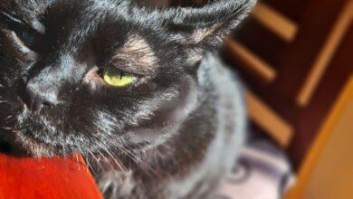 Bombay cat 8
