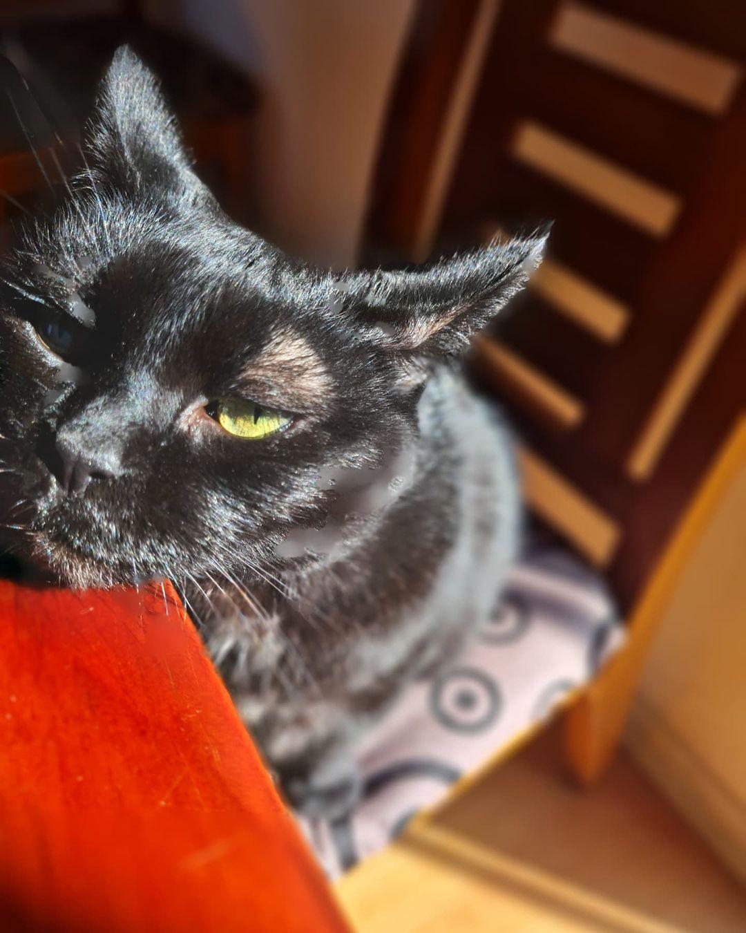 """Mèo Bombay - """"Báo Đen"""" của Châu Á"""