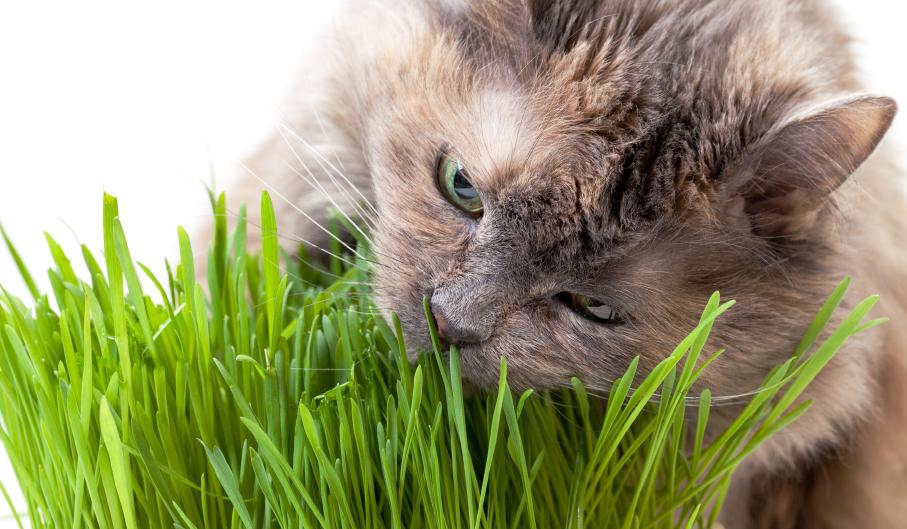 Cách trồng cỏ cho mèo ăn hàng ngày tại nhà