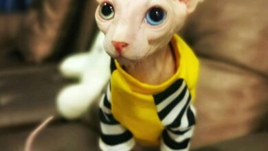 Kinkalow cat 5