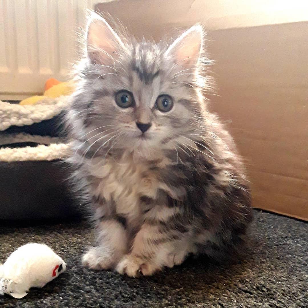 Mèo Kurilian Bobtail - Giống mèo ngộ nghĩnh trên Đảo Kuril