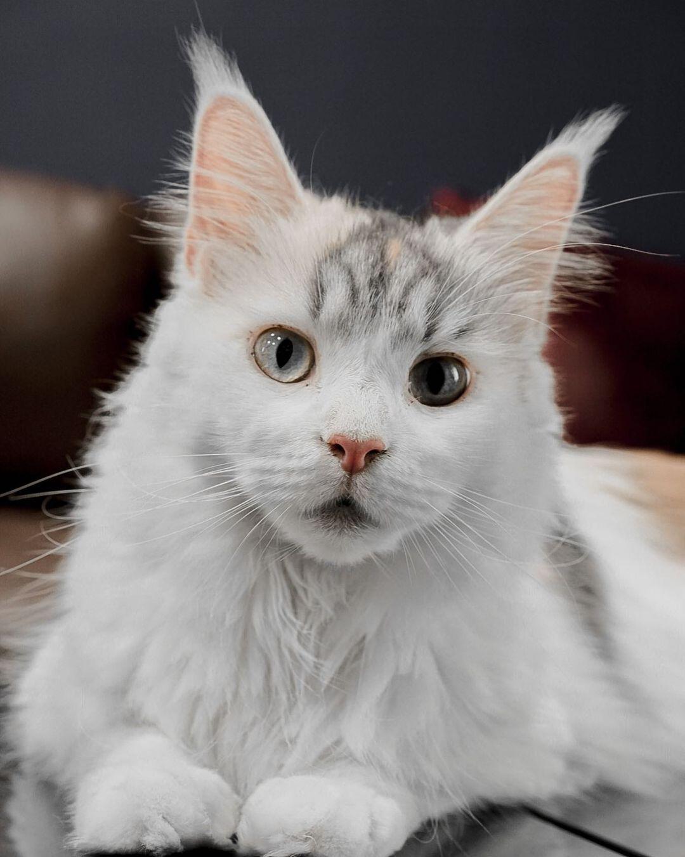 Mèo Maine Coon – Giống mèo to lớn nhất hành tinh.
