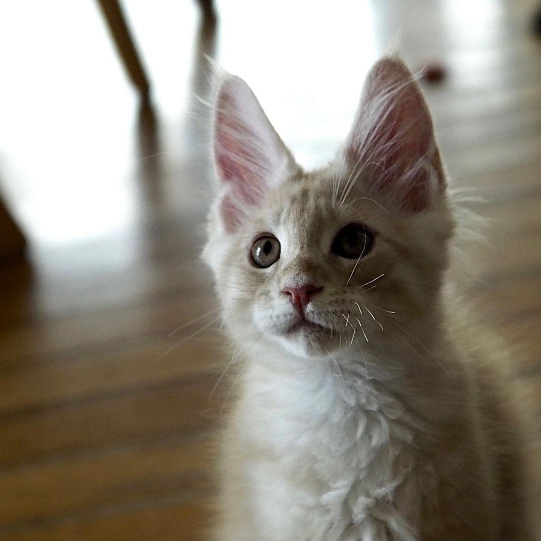 Mèo Mỹ lông dài - Maine Coon có giá bao nhiêu tại nước ta