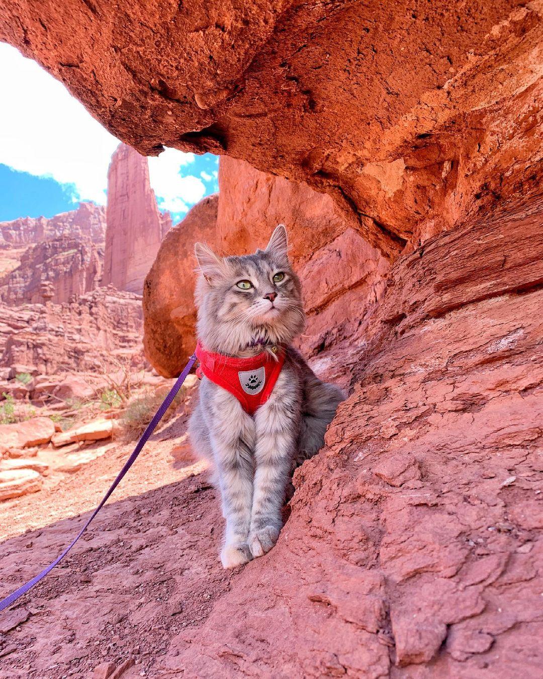 Mèo Manx - Chú mèo cụt đuôi ngộ nghĩnh không sợ nước