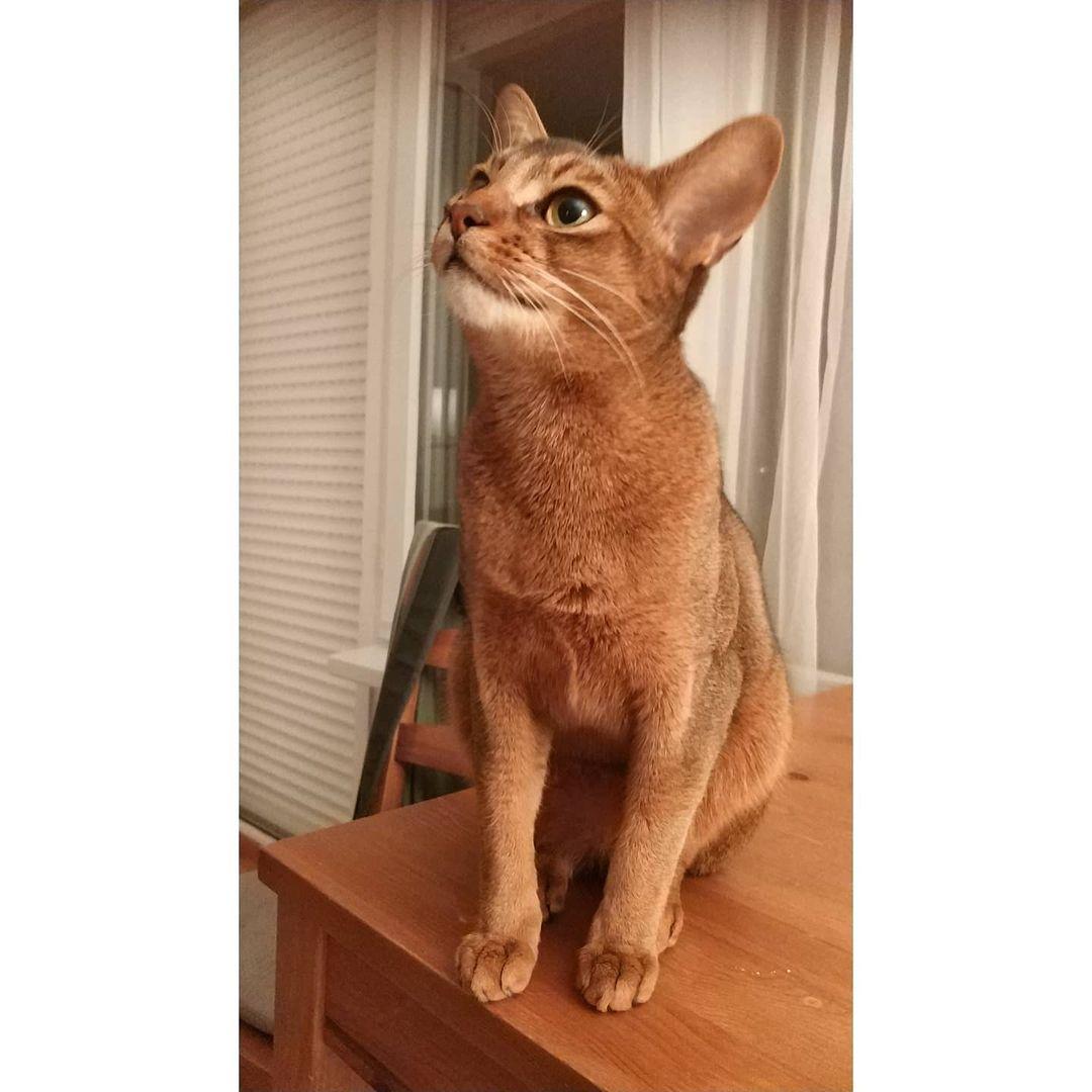 Mèo Abyssinian cổ đại - Mèo nguyên thủy của Ai Cập