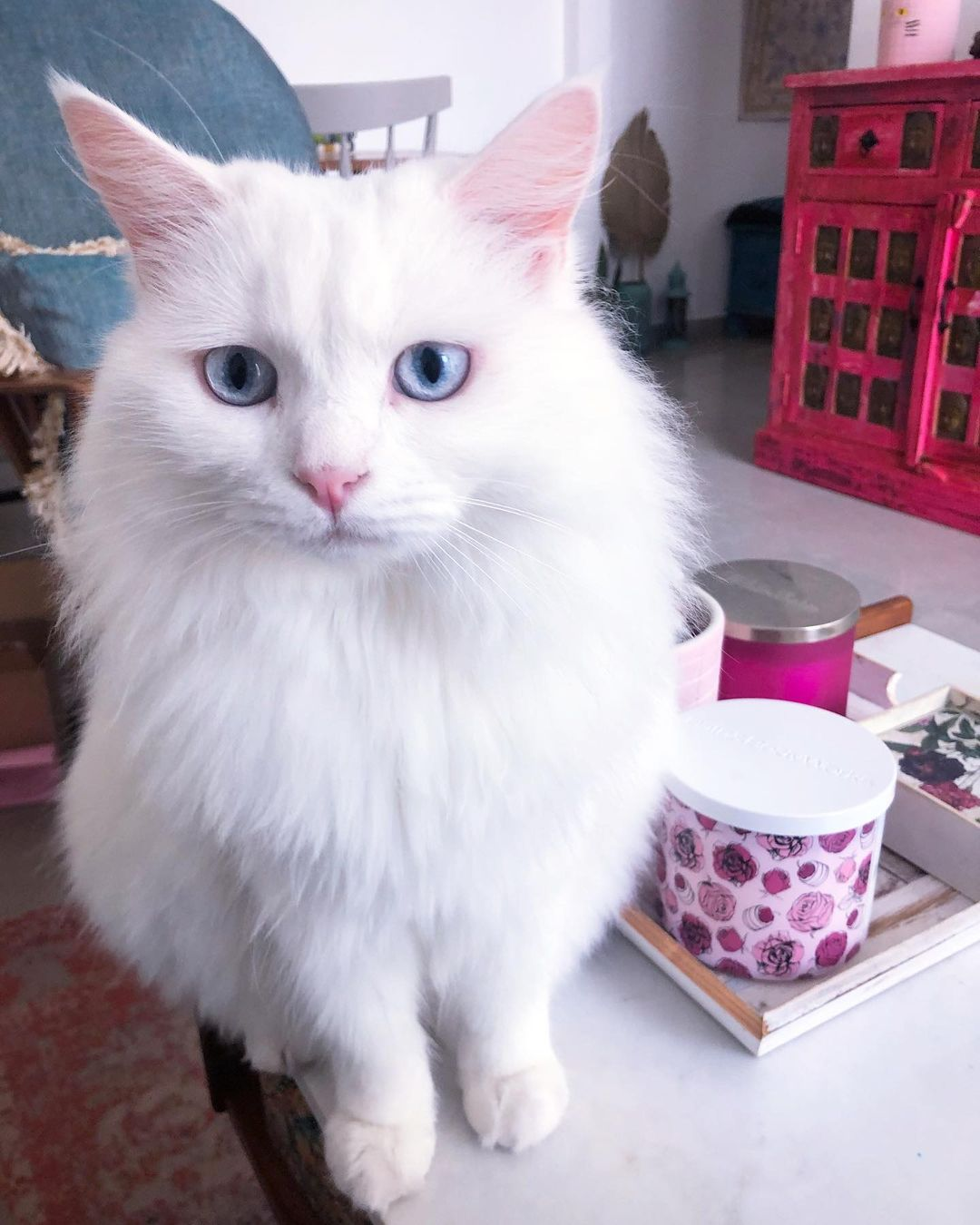 Bà bầu nuôi mèo có sợ sẩy thai hay không?