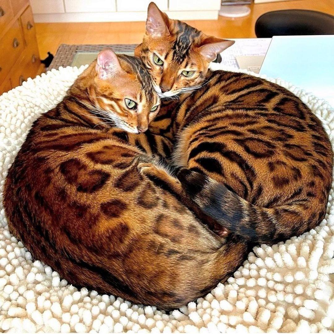 Cách chăm sóc mèo Bengal và những điều nên biết