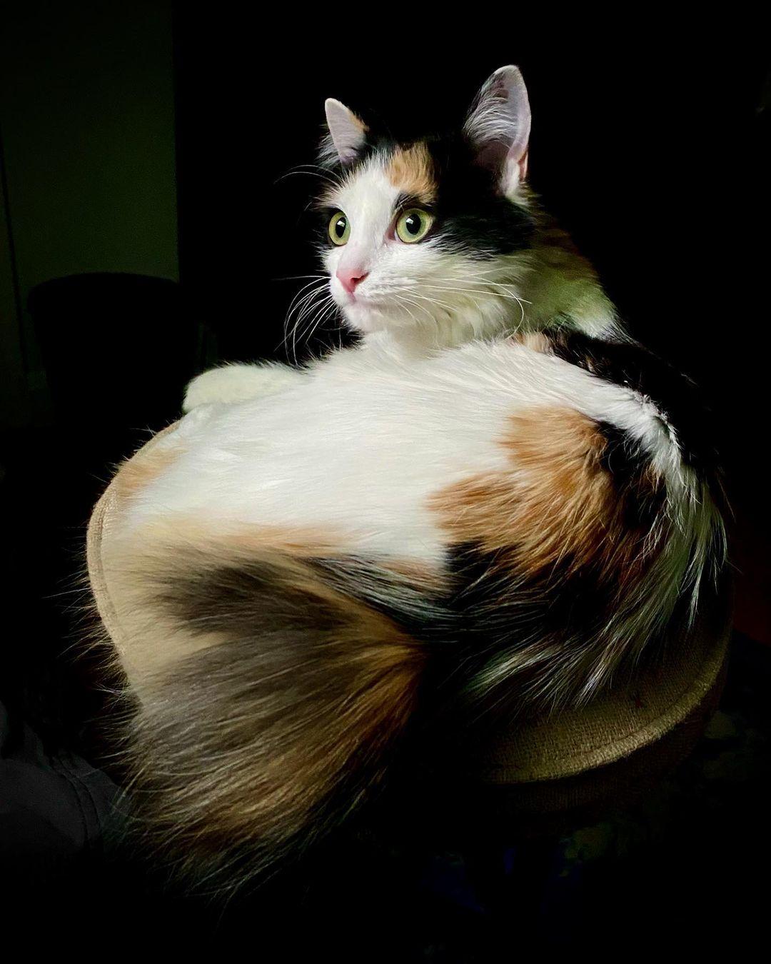 Mèo Bobtail Nhật Bản - Giống mèo đuôi dài đến từ Nhật Bản