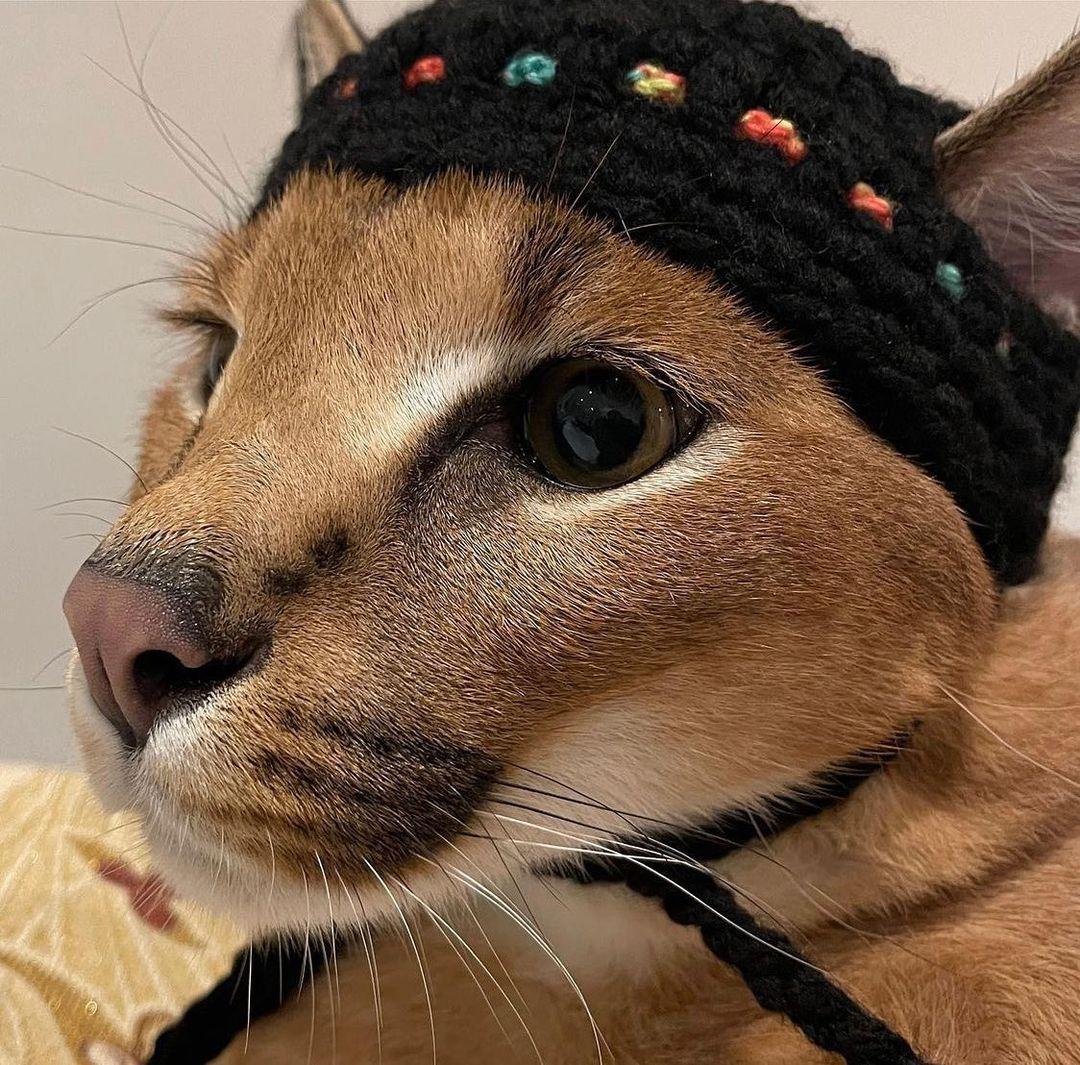 Mèo Caracal (Linh miêu châu Phi) - Linh miêu quý hiếm