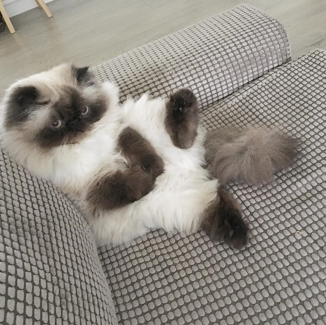 Mèo Himalayan - Đặc điểm và cách chăm sóc