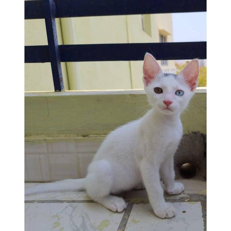 Mèo Khao Manee - Giống mèo có 2 màu mắt