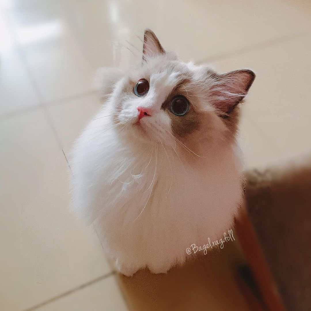 Khám phá về Mèo Ragdoll – Gã khổng lồ cực kì xinh đẹp
