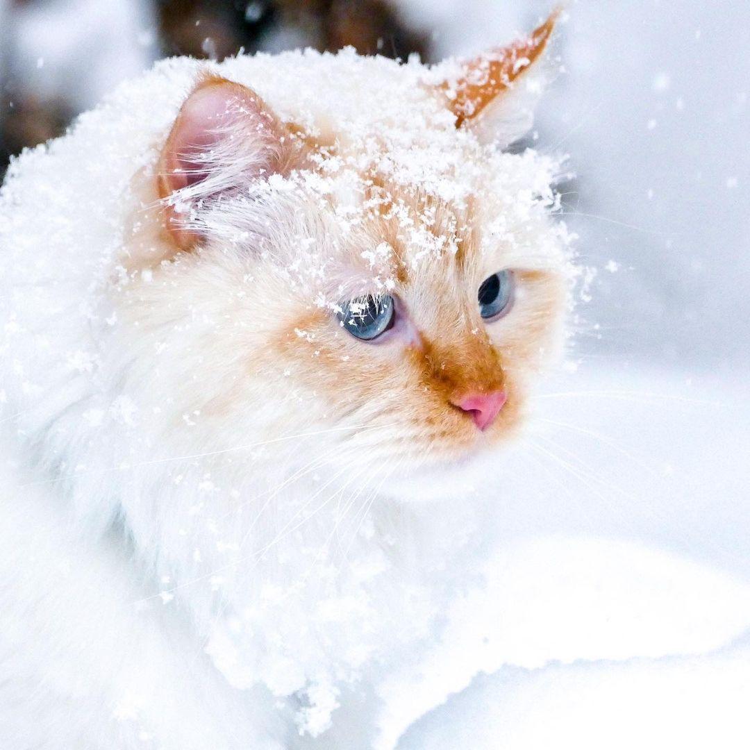 Mèo Siberia - Đặc điểm và Tính cách