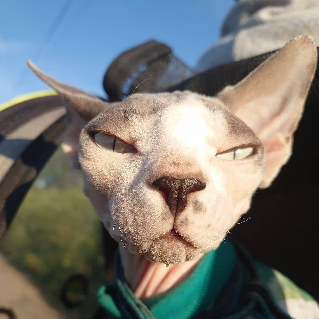 Mèo Sphynx - Giống mèo không lông đắt nhất trên thế giới