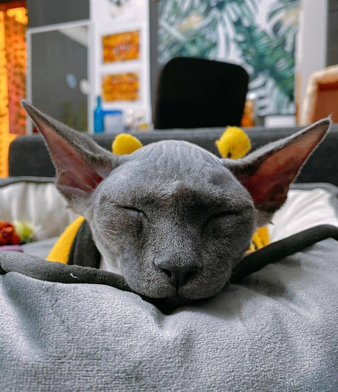 Cách chăm sóc mèo Sphynx đúng tiêu chuẩn