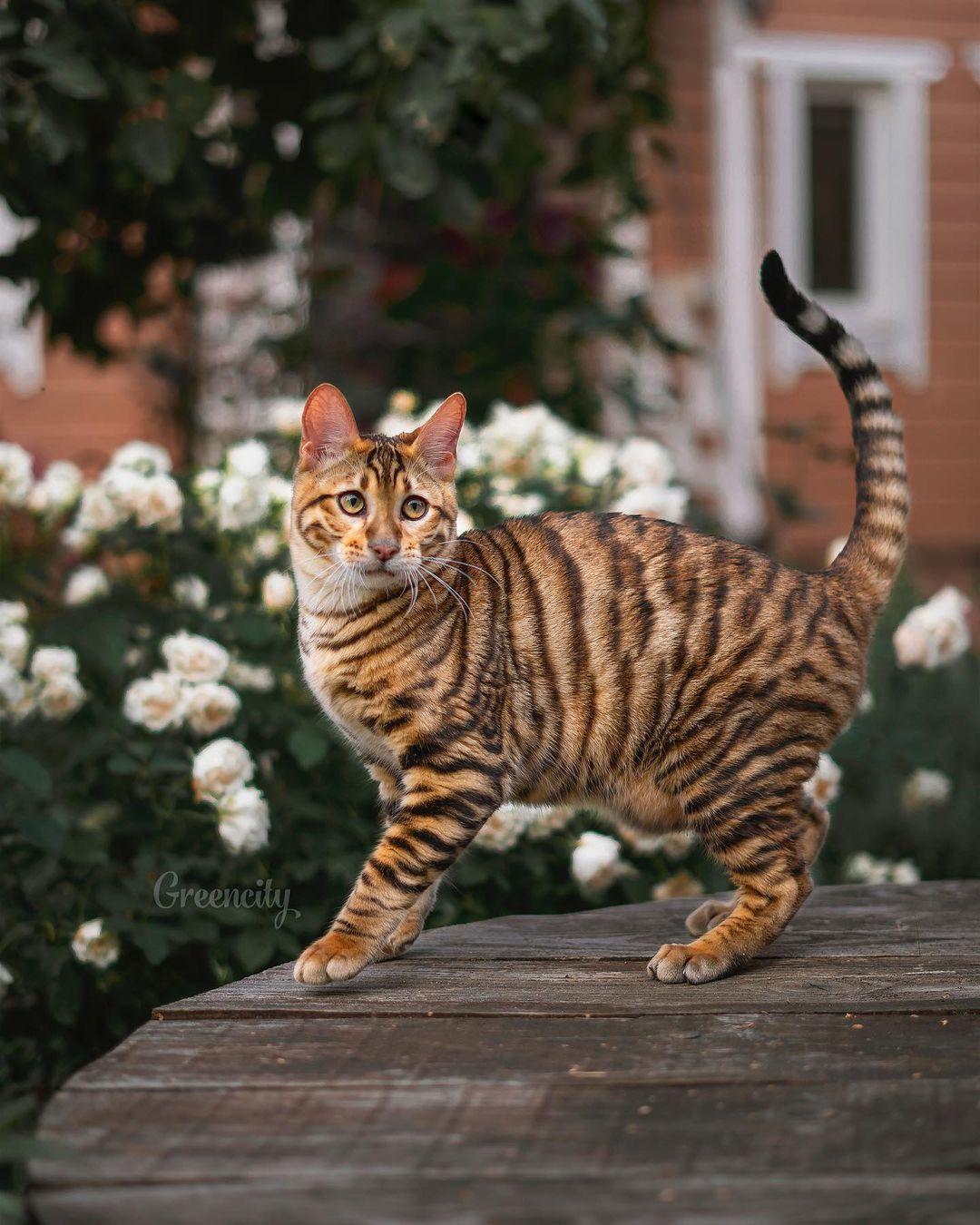 """Mèo Toyger - Giống mèo được mệnh danh là """"siêu động vật ăn thịt"""""""