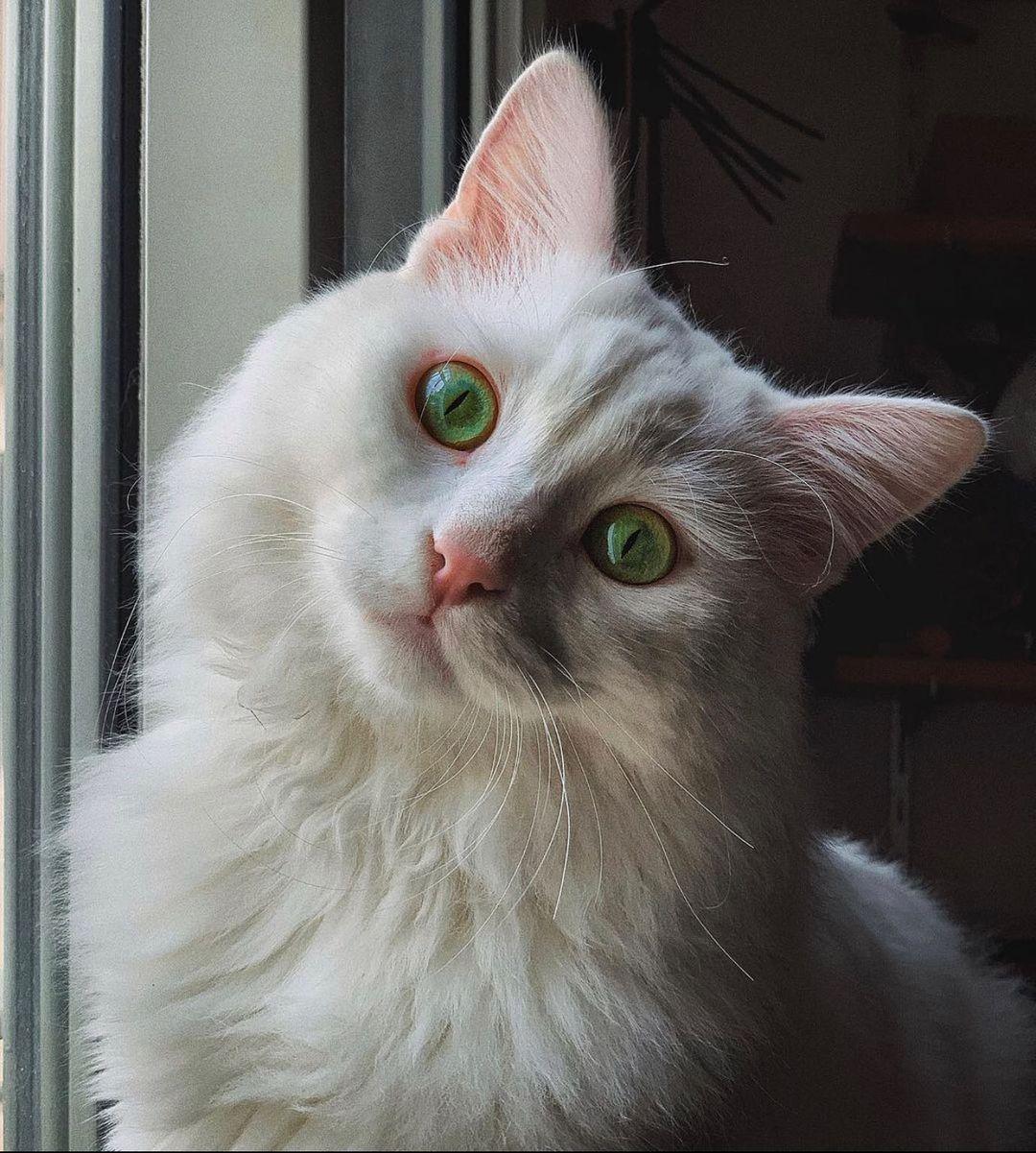 Những điều cần biết khi nuôi mèo bị điếc