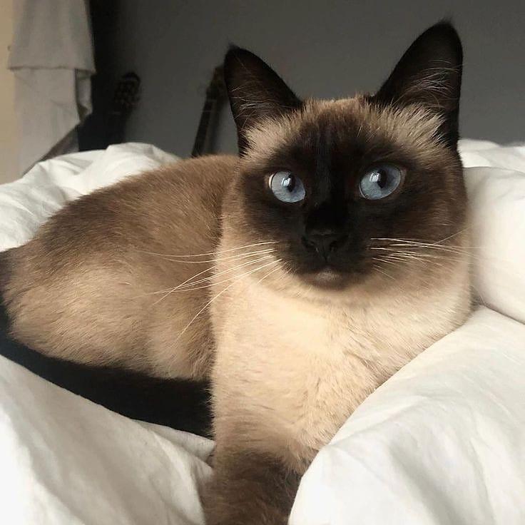 10 giống mèo đẹp nhất thế giới